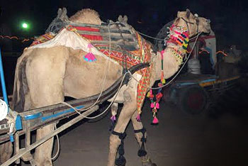 The fair is the largest Indian camel market