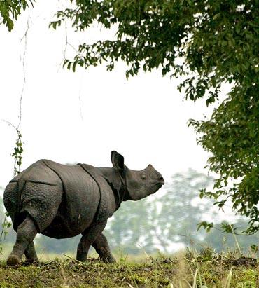 A one-horned rhinoceros walks in Kaziranga National Park, Assam.