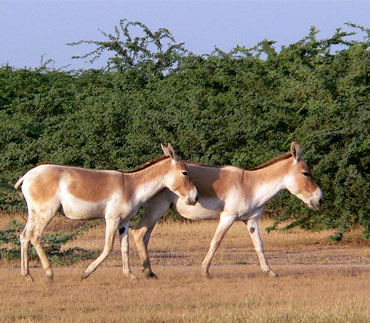 Wild ass Khur in Wild Ass Sanctuary, Little Rann of Kutch, Gujarat.