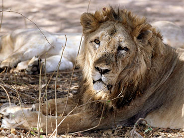 An Asiatic lion rests in Gir forest, about 355 km (221 miles) from the western Indian city of Ahmedabad.