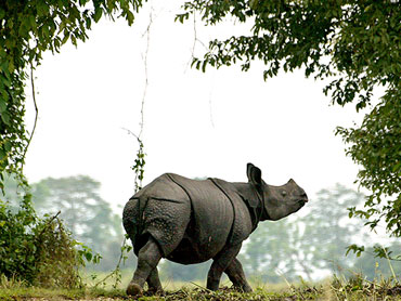 A one-horned Indian rhinoceros walks in Kaziranga National Park in the northeastern state of Assam.