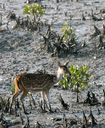A deer walks on the mangroves of the Sunderbans tiger reserve.