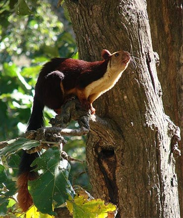 Malabar Giant Squirrel, also known as Indian Giant Squirel photographed in deciduous forests of Mudumalai Tiger Reserve.