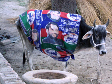 A cow of political leanings!
