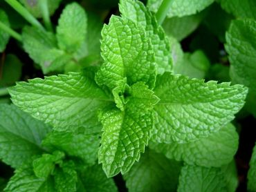 Chewing on mint leaves is beneficial for any stomach problem
