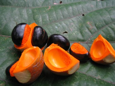 Fruits of the tropical tree Dysoxylum binectariferum