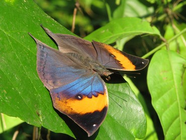 The beautiful orange oak leaf butterfly