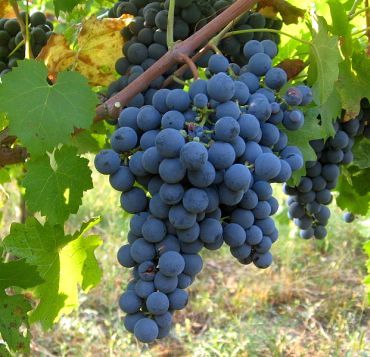 Flavonoids in grapes prevent the oxidation of LDL cholesterol