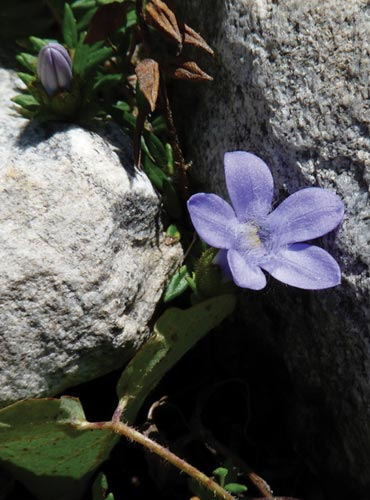 A violet rears its head