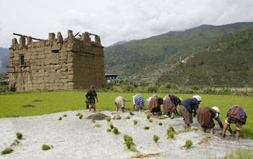 Farmers work in a paddy field at the Bhutanese district of Paro valley.