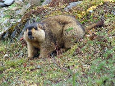 Himalayan Marmot at Tshophu Lake altitude 4100 metres.