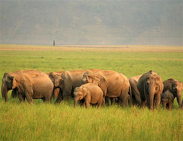 An Asian Elephant herd at Jim Corbett National Park