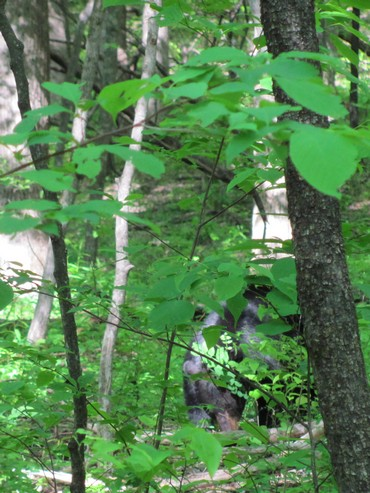 Sensing human presence, the bear moved away from the trail with her young one