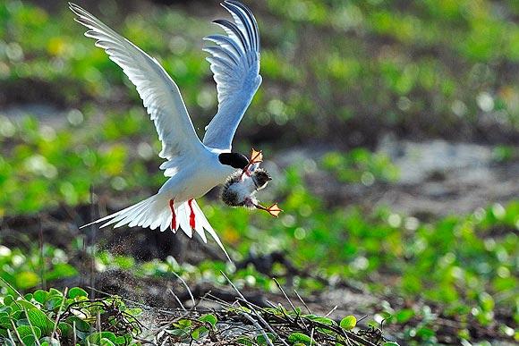 Good Tern