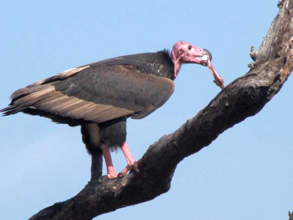 A vulture eating a leg of spotted dear perched atop a tree at Corbett Tiger Reserve