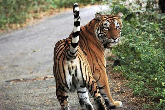 Tigress ST2 near Kali Ghati at Sariska Tiger Reserve