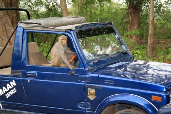 A mischievous monkey at Corbett National Park