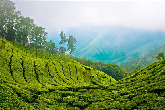 Munnar is home to some of the highest tea plantations in India. It lies on the state border between Kerala and Tamil Nadu and commands a panoramic view of rolling green hills