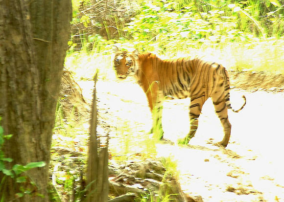 The Corbett National Park is a reserved forest in the state of Uttarkhand, India., Holding in abundance a mindboggling variety of deer, antelopes, reptiles, birds, tigers. Named after the great hunter and naturalist Jim Corbett