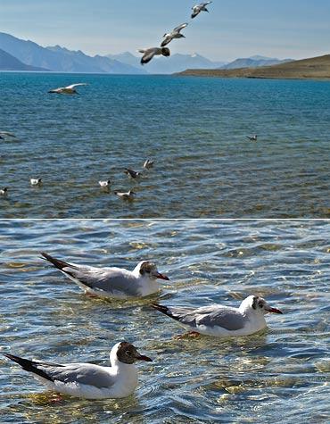 Brown-Headed Gulls frolicking at Pangong Tso