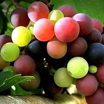 Grapes should be part of your acid reflux diet