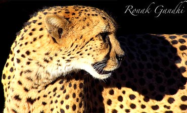 A ferocious Cheetah captured at National Zoo, Washing