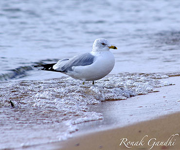 A seagull feeling the sand slipping at Sand Point state park, Maryland, USA