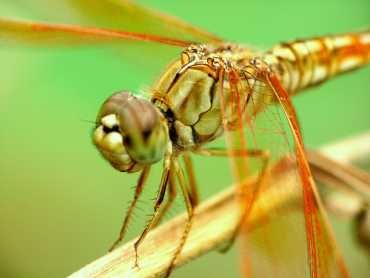 A quietly sitting dragonfly