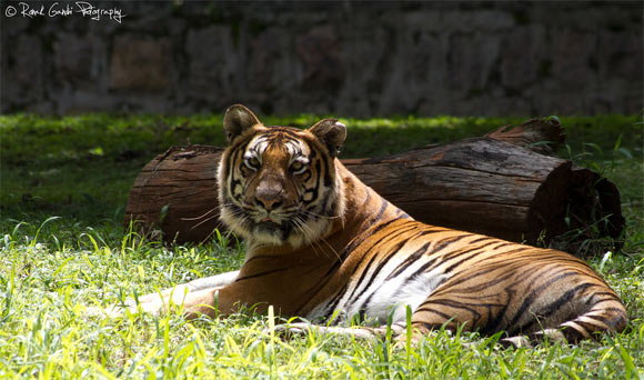 A tiger at Mysore zoo