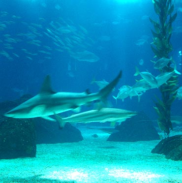 Sharks at Lisbon Oceanarium