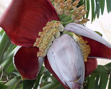 The banana bud is one of the primary ingredients of Narikel Mocha