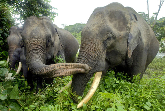 A group of elephants stroll in Kaziranga National Park in the northeastern state of Assam