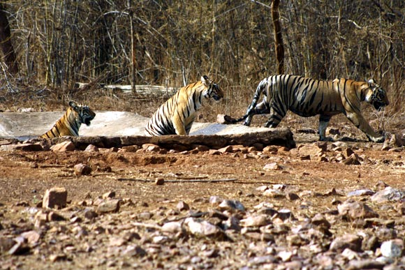 Project Tiger governs 42 tiger reserves in the country