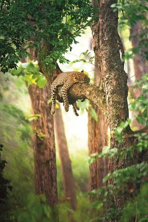 Leopard Slumber