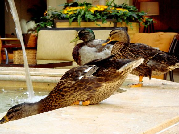The ducks' master
