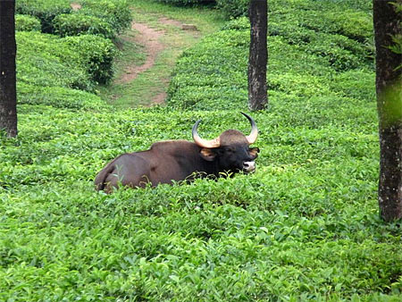 Gaur at Valparai