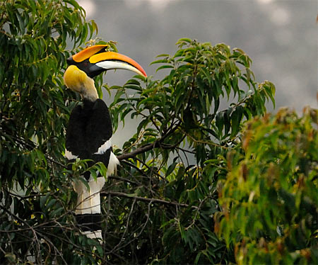Great hornbill on Mesua tree in Valparai