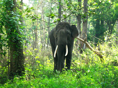 Elephant at Mudumalai National Park