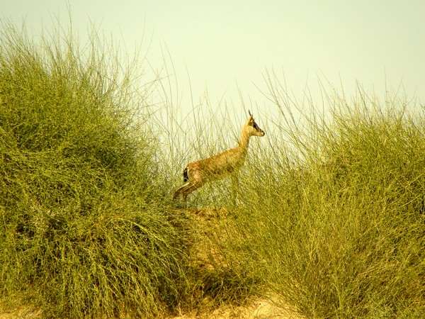 Protected by the Bishnois - the Chinkara beautiful, delicate and fearless