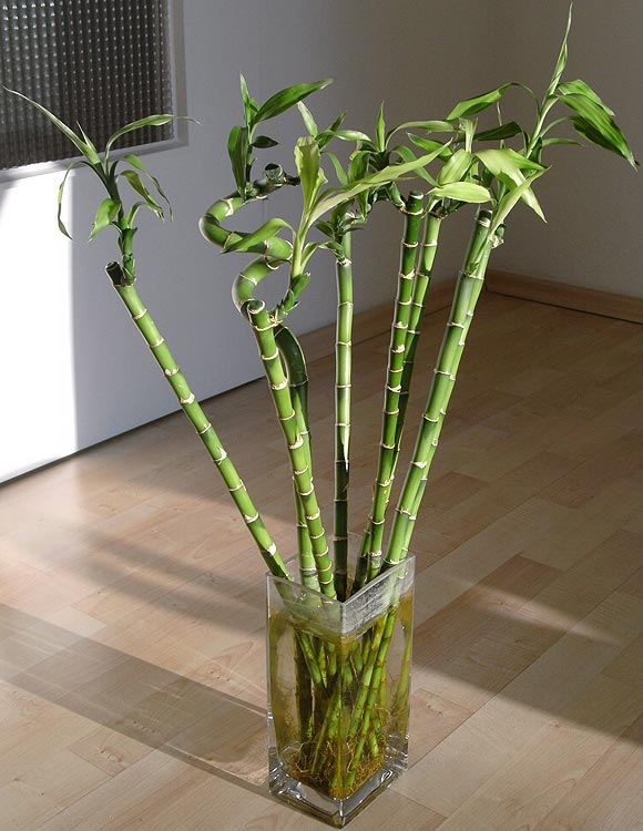 The 'Lucky Bamboo'