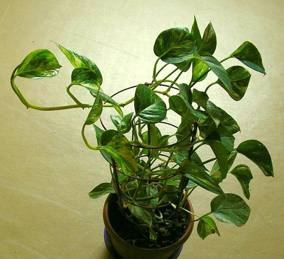 The Pothos plant