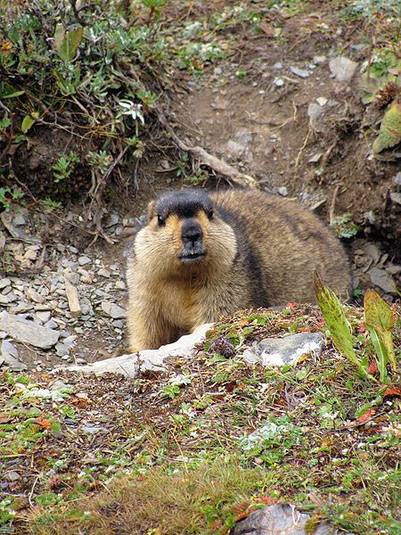 Himalayan Marmot at Tshophu Lake, Bhutan