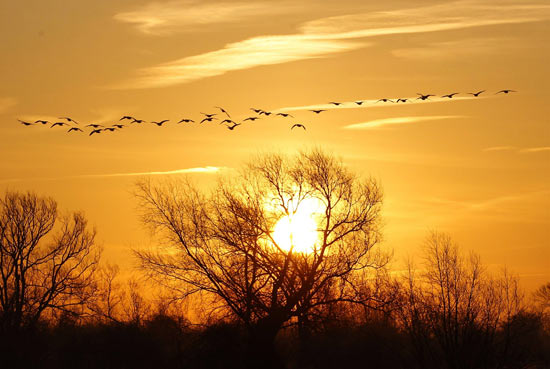 Wild fowl fly at sunrise in Quorn, central England January 16, 2012.