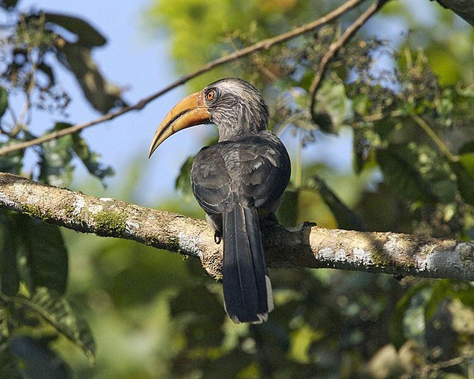 The Malabar Grey-Hornbill at Thattekad, Kerala
