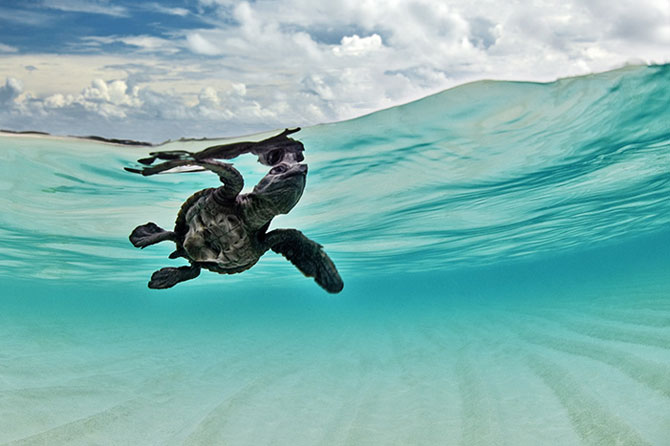 A sea turtle clicked underwater