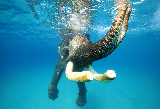 An elephant clicked underwater