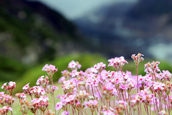 Flowers at Manang