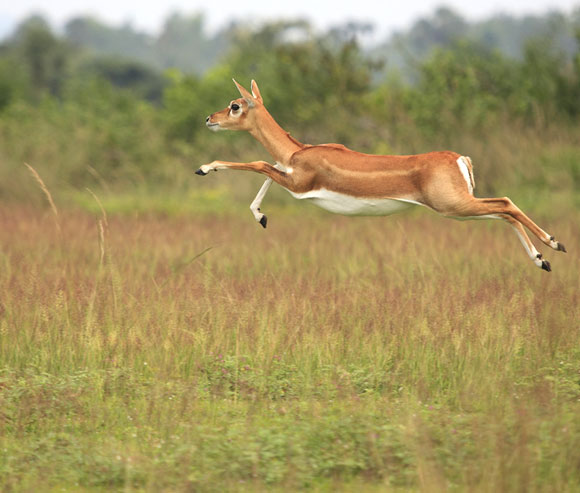 Blackbuck, Orissa
