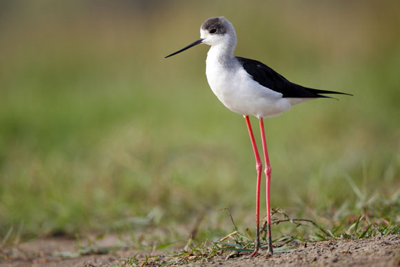 Black-winged Stilt shot at Chilka
