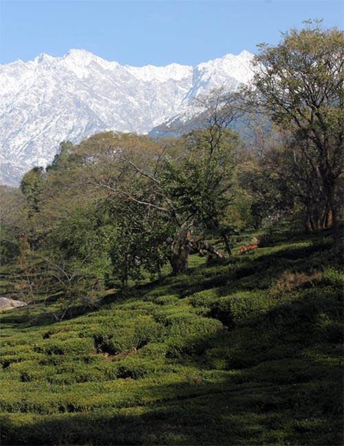 A tea estate in Palampur